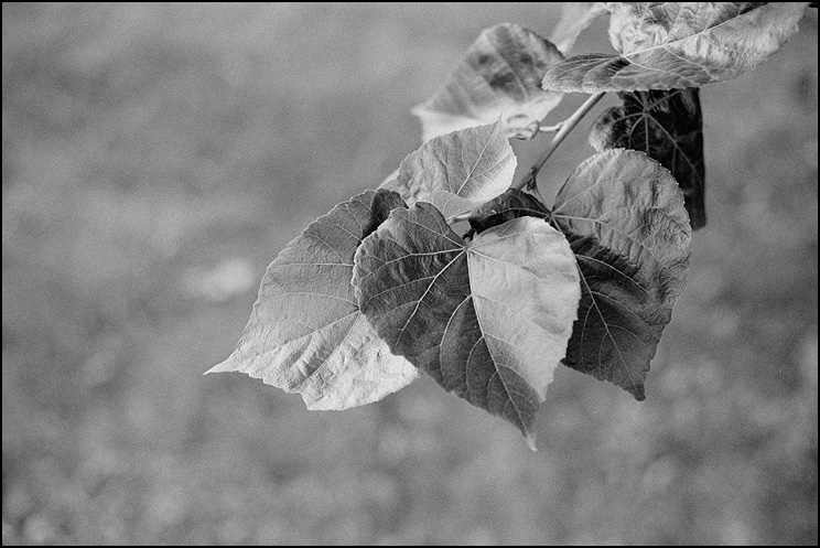 Tonal Leaves, Hexar RF, 50 Hex, HP5 @ 200, Tmax Dev